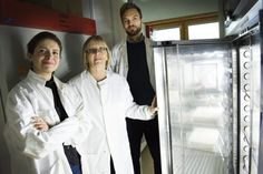Malaria mosquitoes prefer to feed — and feed more — on blood from people infected with malaria. Researchers from Stockholm University, the Swedish University of Agricultural Sciences and KTH Royal Institute of Technology have discovered why. The findings can lead to new ways to fight malaria without using poisonous chemicals. The results will be published in the next issue of the journal Science.