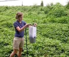 Kudzu | entomology intern Anna Marie Heape places a kudzu bug trap in a kudzu ...