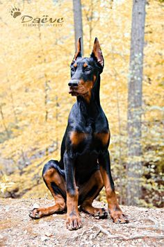 Yes, I have actually developed a love for this neurotic breed.... Thanks Brutus (now known as Vadar, ESAS patient) #DobermanPinscher