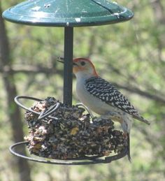 Red Bellied-Woodpecker