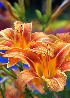 ~~Dena's Day Lilies by Eloise & Eugene Gregory~~