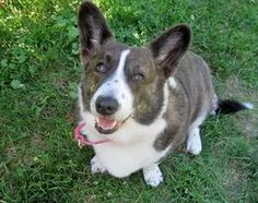 DOLLY is an adoptable Welsh Corgi Dog in Boston, MA.