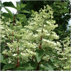 PLANT OF THE WEEK:  Hydrangea pan. 'Wim's Red' PPAF (Fire and Ice Hydrangea)  -  Ht. 6-7' Wt. 6-7' Blooms change color every couple weeks! - from creamy white to clear pink to dark burgundy in fall! Simply stunning with its green foliage and red stems. Sets buds on current year's growth so prune spent flowers immediately after flowering (midsummer) - Zone 3-8 - acornfarms.com