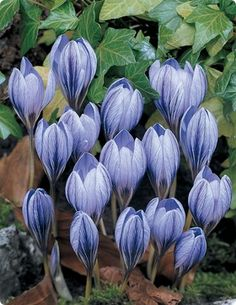 Autumn Blue Crocus.