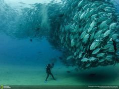 "An impressive capture titled ""David and Goliath"" of a large group of Bigeye trevally fish at Cabo Pulmo National Park in Baja California Sur, Mexico, by photographer Octavio Aburto for the National Geographic Photo Contest 2012 Cool Pictures, Cool Photos, Amazing Pictures, Random Pictures, Funny Pictures, Hello Pictures, Rare Pictures, Funny Images, Animal Pictures"