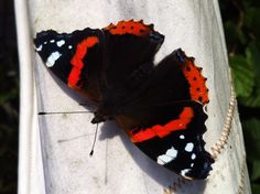 Finaly a butterfly in the garden....