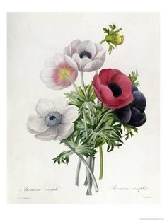 Giclee Print: Anemone: Simple Art Print by Pierre-Joseph Redouté by Pierre-Joseph Redouté : 24x18in