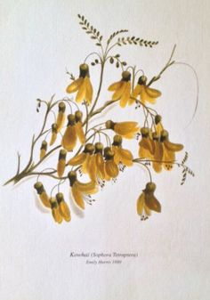 Check out the deal on Kowhai Botanical Print by Emily Harris at New Zealand Fine Prints Botanical Tattoo, Botanical Drawings, Botanical Illustration, Botanical Prints, New Zealand Tattoo, New Zealand Art, Native Tattoos, Fairy Tattoo Designs, Plant Tattoo