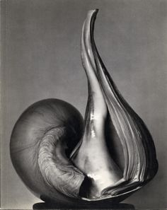 Shell by Edward Weston, 1930s.