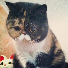 Adorable 1 year old Pudge Exotic Shorthair, Cute Little Things, 1 Year Olds, Cats Of Instagram, Pets, Angles, Doggies, Toy, Animals