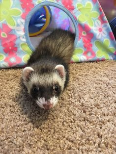Keith the ferret | BELLOS ANIMALES | Pinterest | Ferret Pet ferret and Dog & Keith the ferret | BELLOS ANIMALES | Pinterest | Ferret Pet ...