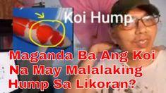 Magaganda Ba Ang Koi Fish Na May Malalaking Hump?