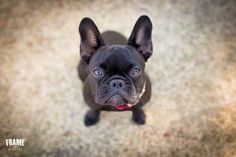 Los angeles modern dog photography.   french, bulldog, frenchie, photoshoot, session, photography, puppy, outdoor, ideas, cute, black, santa monica