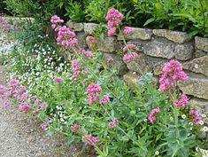 Centranthus ruber (Valériane des jardins) - Arrosoirs et Sécateurs Pink Perennials, Plantation, Stepping Stones, Patio, Outdoor Decor, Flowers, Plants, Provence, Images