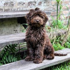 Spal Rosa #dulcechocolate #spal Labradoodles, Cockapoo, Love Pet, Southern, Pets, Pink, Animals