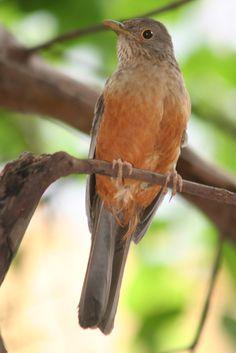 Sabiá-laranjeira: o pássaro dos poetas 19 336 | por Flávio Cruvinel Brandão