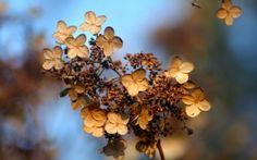 Preview wallpaper hydrangea, flower, autumn, dry