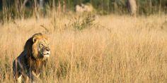 Addio Xanda: anche il figlio del leone Cecil è stato ucciso da un cacciatore di trofei
