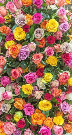 flowers, rose, and wallpaper Bild Beautiful Flowers Wallpapers, Beautiful Rose Flowers, Exotic Flowers, Pretty Flowers, Flower Phone Wallpaper, Colorful Wallpaper, Flower Wallpaper, Iphone Wallpaper, Amazing Wallpaper