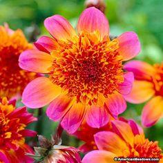 Pink and Orange Anemone Flowering Dahlia Floorinoor, Dahlia, Anemone Flowering Dahlia