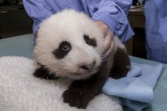 "Panda cub 8th exam update: 7.3 lbs., 20"" long, his teeth are about to surface & he's starting to ""crawl."" www.sandiegozoo.org/pandacam"