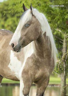 Gypsy Vanner Horses for Sale   Gelding   Buckskin & White  Tough Love