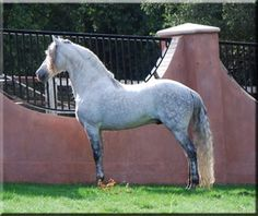 Beautiful Andalusian stallion, in Texas - & such a cool fence.