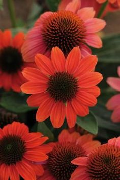 "Coneflower 'Hot Coral' Echinachea - Bright coral-orange flowers that bloom all summer long. Excellent cut flower Height 24"" Zones 3-8"