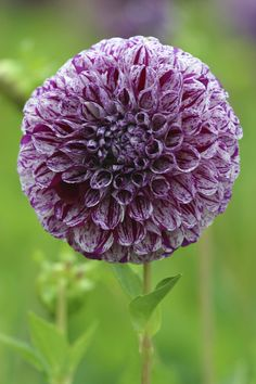 Dahlia 'Marble Ball' • Plants & Flowers • 99Roots.