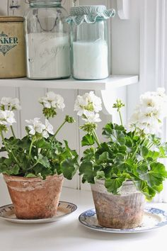 Geraniums are one of my favorite plants and make great houseplants year round in a sunny window!White Geraniums are one of my favorite plants and make great houseplants year round in a sunny window! White Flowers, Beautiful Flowers, Vibeke Design, Pot Jardin, Deco Floral, White Gardens, Terracotta Pots, Container Gardening, Succulent Containers