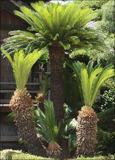 Sago Palm (Cycas revoluta)