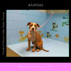 SOFIA #A472565 (Moreno Valley CA) Female fawn and white Pit Bull Terrier mix. The shelter thinks I am about 1 year. I have been at the shelter since Apr 22 2017 and I may be available for adoption on Apr 29 2017 at 11:19AM.  http://ift.tt/2q42miQ  Moreno Valley Animal Shelter at (951) 413-3790 Ask for information about animal ID number A472565 #Adoptdontshop #Adoptdontshopcalifornia #morenovalley #californiashelterdogs #dogsofinstagram #savealifeadopt #savealifeadoptapet #fosteradog…
