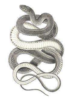 Curvy Snake vintage print Reproduction. $15.00, via Etsy.