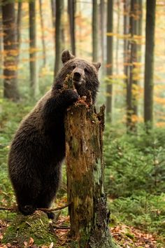 Forest — wolverxne: Playing - by: { Peter Krejzl } Beautiful Creatures, Animals Beautiful, Cute Animals, Beautiful Beautiful, Wild Animals, Baby Animals, Cute Bear, Tier Fotos, Black Bear