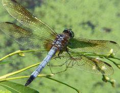 Blue Dasher Male  Dragonflies & Damselflies