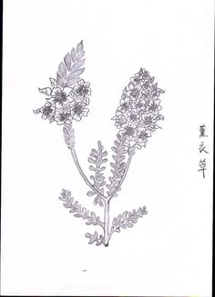 Sketch_Lavender_01