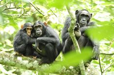 Female chimpanzees carefully nurture their young. Babies can grasp their mother's fur to ride on the mother's back at about 6 months. After they are weaned, chimpanzees begin to build their own sleeping nests out of vegetation and not use their mother's nest anymore. Young chimpanzees stay with their mother for about 7 years.