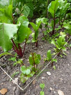 Don't Throw Away Those Beet Thinnings! 6 Tips for Growing Beetroot