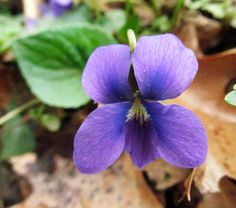 MARSH BLUE VIOLET: (Viola cucullata). Photographed at the Wildflower Reserve at Raccoon Creek State Park in Beaver County, PA, April 23, 2016.
