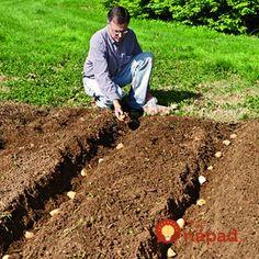 planting potatoes in hilled rows article with 7 ways to grow plant potatoes Organic gardening. Garden Yard Ideas, Veg Garden, Edible Garden, Lawn And Garden, Garden Plants, Planting Potatoes, Grow Potatoes, Potato Gardening, How To Plant Potatoes