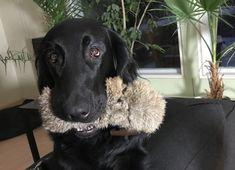 Flatcoated retriever Pippa