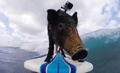 Image result for images of animals surfing