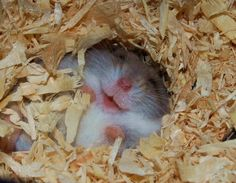 First I hides in wood shavings, when cage is cleaned out, I escape! muhahaha muhahaha  muhahaha