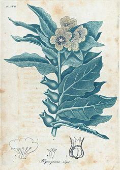 Hyoscyamus niger. (Henbane). (1817-1820)