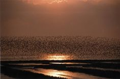 Jetzt machen wir die Wolke: Vogelschwarm überm Wattenmeer an der Ostseite der Insel Amrum