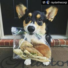 Have you stopped by your local #VErawbar?  #Repost @raydarthecorgi with @repostapp ・・・ Corgparents came back from a weekend trip and brought me dis bag of goodies from da @vitalessentialsraw Raw Bar! Da raw bar has tasty freeze dried noms and freeze dried is my FAVORITE! Iz gots a duck foot, pig ear, turkey tail and a turkey wing! 🐶 #vitalessentials #vitalessentialsraw #rawbar #welshcorgi #pembrokewelshcorgi #tricolorcorgi #dog #dogstagram #corgi #corgination #corgisofinstagram…