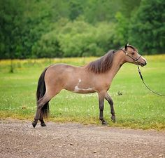 A daughter of Res World Champion, LM Idols Watch Me Like a Hawk and out of a Conder bred mare, this filly let the best of both worlds shine through. You can see the elegance, correctness and refinement of Billy Idol and the color of Nighthawk. Offered by Mini Horse Sales