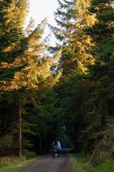Pine forest, Ticknock mountain, Ireland