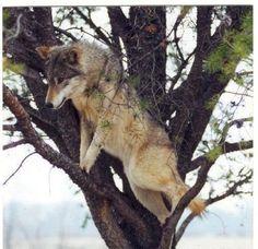 Wolf climbing a tree