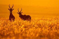 Bontebok pair standing in golden grass at sunset, Golden Gate National Park, South Africa Highlands, Parc National, National Parks, South Africa Tours, Safari, Free State, Great White Shark, For Facebook, Golden Gate